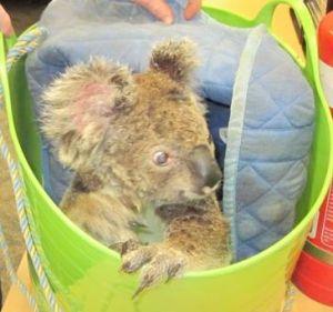 Koala Renee