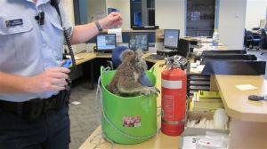 Koala Renee at police station